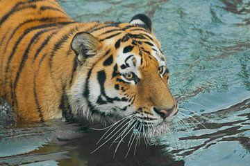 Blick in die blauen Wellen. Junger schöner Tiger mit ausdrucksvollen Augen geht auf dem Wasser (bade von Michael Semenov
