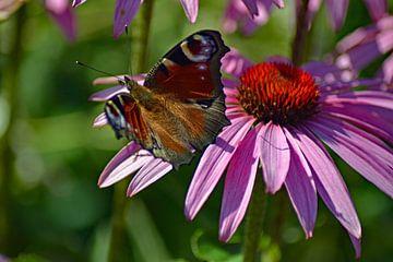 Dagpauwoog op Echinaceabloem van Vrije Vlinder Fotografie