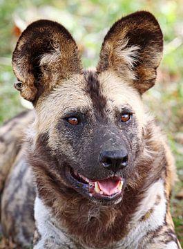 African wild dog - Africa wildlife van