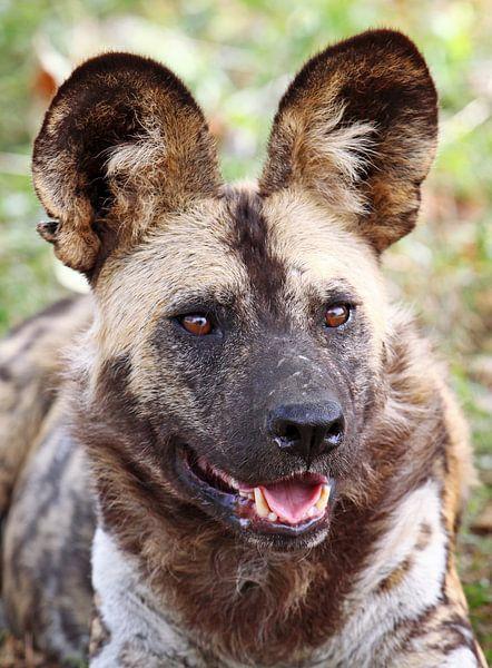 African wild dog - Africa wildlife