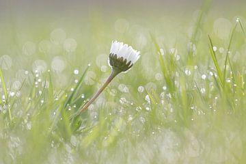 Madeliefje in het natte gras van Karin Bijpost