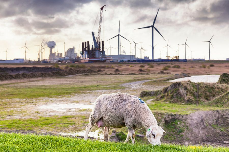 Grazend schaap op de dijk bij de Eemshaven