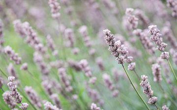Lavendel van Gerda Hoogerwerf