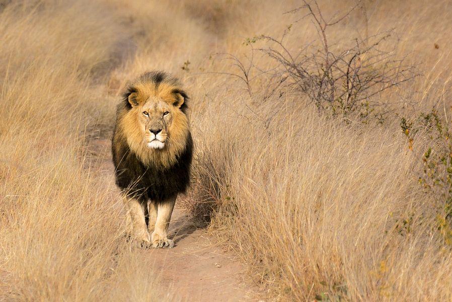 Milo, Löwe Simbabwe von Claudia van Zanten