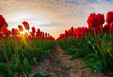 Tulpen  van Steven Poulisse