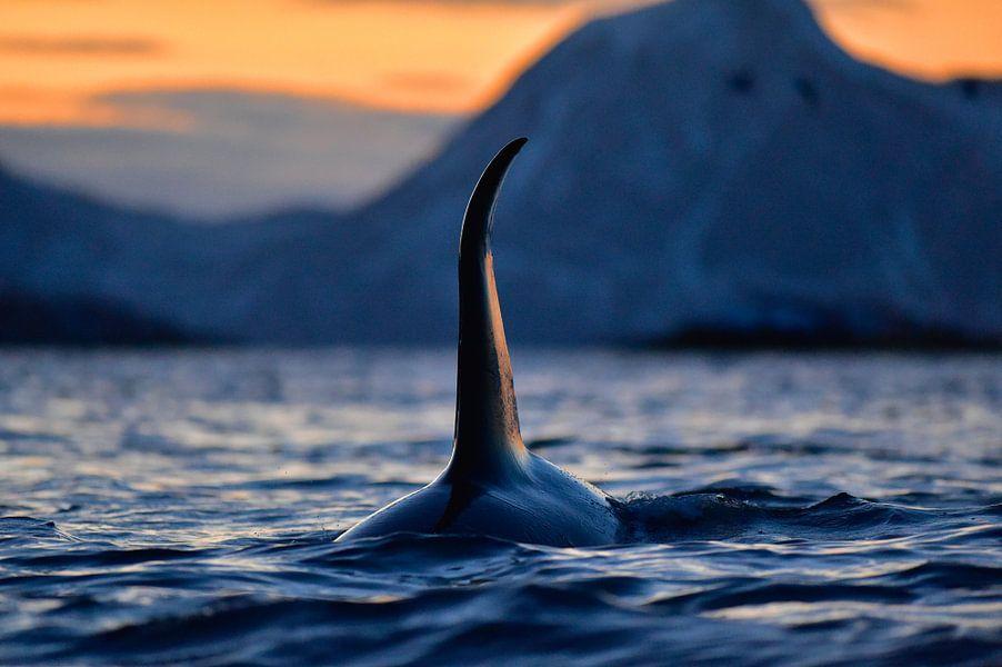 Indrukwekkende orca met enorme rugvin in de Noorse fjorden