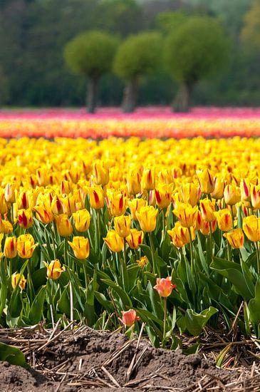 Tulpenveld In Egmond Binnen van Fotografie Egmond