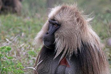 gelada baviaan von laura van klooster
