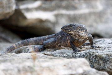 Ctenosaura similis, de Zwarte leguaan.