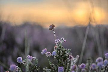 heide bij zonsopkomst van Tania Perneel