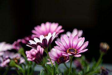 Roze Bloemen op donkere achtergrond van Petro Luft