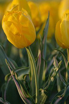 gelbe Tulpe von Jeffry Clemens