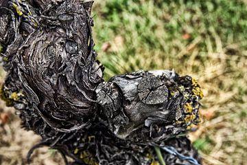 knoestige wijnstok van Norman Krauß