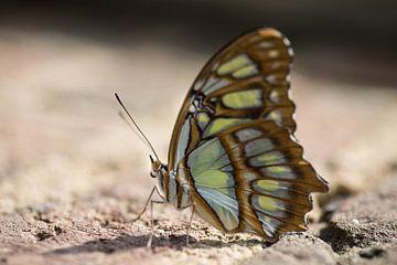 Vlinder op muur van Kristel van de Laar