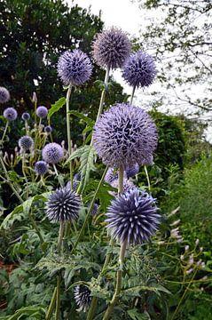Chardon bleu avec ses fleurs violettes craquantes dans un jardin botanique écologique