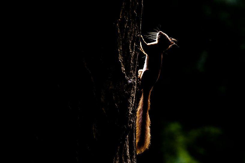 Backlight of red squirrel van Leendert van Bergeijk