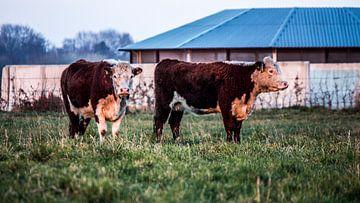 Twee Herefords koeien in Drenthe op landgoed Scholtenszathe  van Dennis Hooiveld