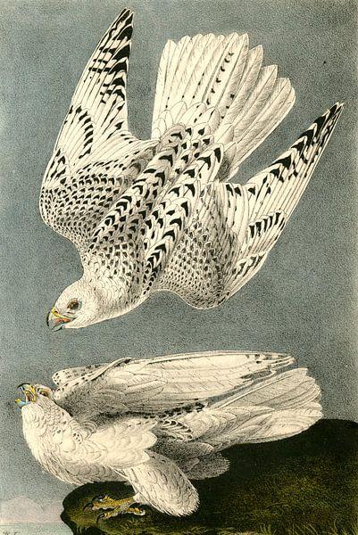 Valk, Iceland or Gyr Falcon., Audubon, John James, 1785-1851 van Liszt Collection