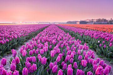 Tulpenvelden bij een vroege zonsopkomst