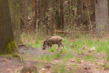 junge Wildschweine von Tania Perneel