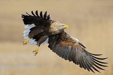 White-tailed Eagle *Haliaeetus albicilla* van