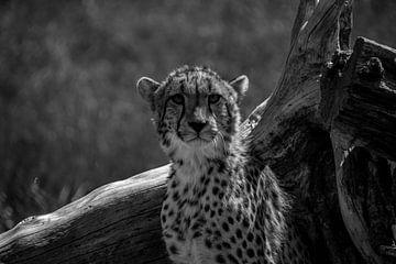 Gepard von Sylvia Schuur