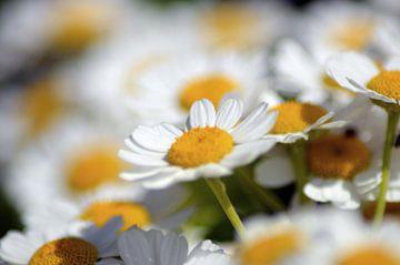 witte bloemen van Joke te Grotenhuis