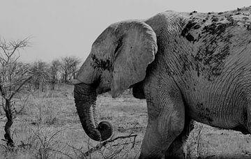 Oude olifant, Etosha NP van Inge Hogenbijl