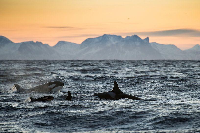 Familie orca van Judith Noorlandt