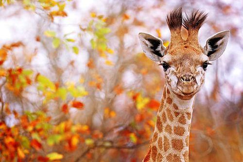 Junge Giraffe in buntem Laub, Südafrika
