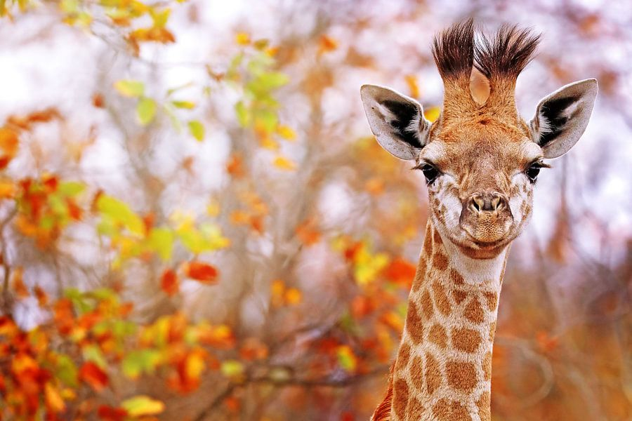 Young giraffe with colorful leaves, South Africa van W. Woyke