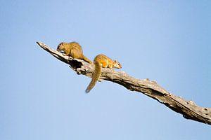 Eekhoorns op tak