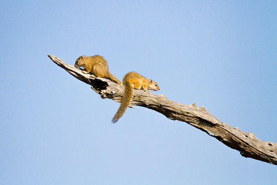 Eekhoorns op tak van Jan van Kemenade