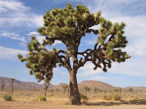 Joshua Tree van