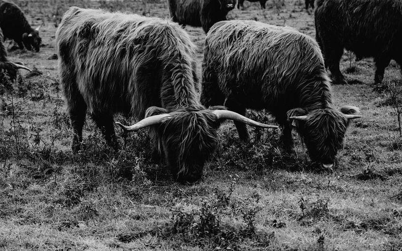 Schottische Hochlandbewohner - schwarz-weiß von Suzanne Fotografie
