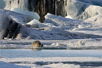 Zeehond op het ijs van