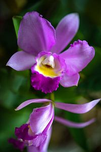 Cattleya Orchidee van