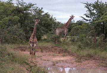 twee giraffen tijdens een safari van