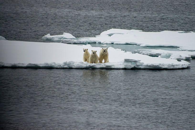 Der Eisbär von Merijn Loch