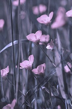 blossoms van zwergl 0611