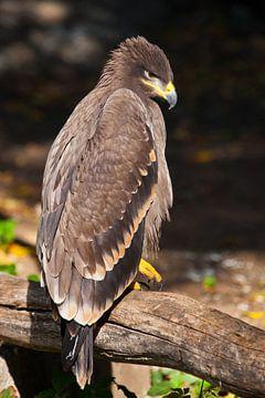 Un grand aigle des steppes sur Michael Semenov
