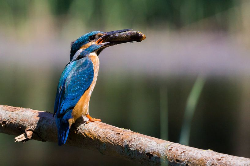 Ijsvogel van Gerwin Hoogsteen