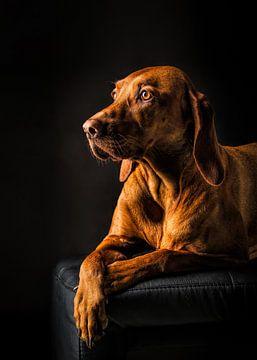 Porträtfoto eines braunen Vizsla-Hundes von Diana van Tankeren