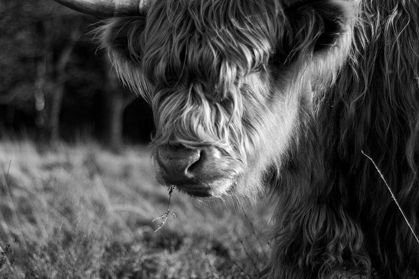 Schottischer Highlander in Schwarz-Weiß von Natasja Bittner