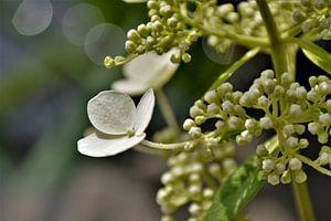 Witte Hortensia met Bokeh