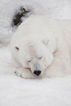 Comfort in de koude, rustgevende slaap Krachtige roofdier-ijsbeer ligt in de sneeuw, close-up van Michael Semenov