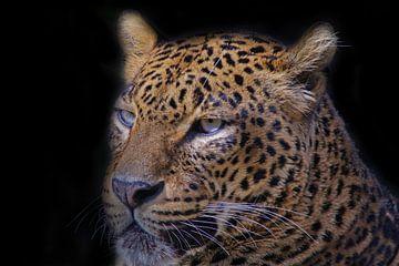 Léopard, Panthera pardus. sur Gert Hilbink