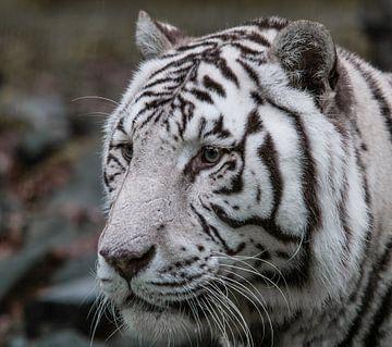 Witte tijger van Harry van den Brink