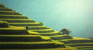 Champs de riz dans la matinée sur Roger VDB