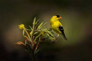 Goudsijs - Geel Zwarte Vogel Op Groene Plant